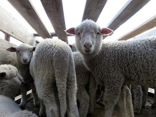 peta-ovis-21-wool-patagonia-1-537x403