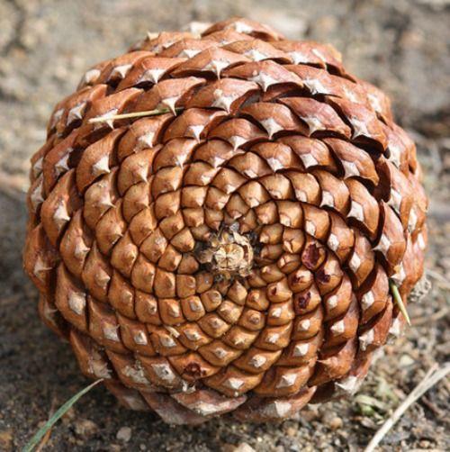 dd4dc1f29bb9cc83bfed0cc015c7557f-spirals-in-nature-fibonacci-spiral