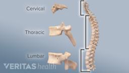 Adult-Cervical-Spine-anatomy-size-comparison
